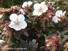 Geranium pratense 'Black'n White Army' - Storkenæb