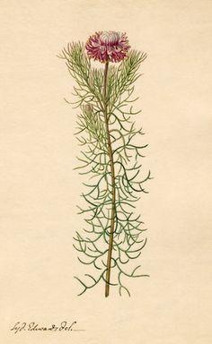 Sydenham Teast Edwards -- Phaenocoma prolifera -- Sydenham Teast Edwards -- Artists -- RHS Prints