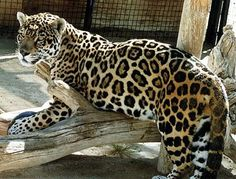 Jaguar.......the most gorgeous creature on the planet.