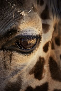 Eye of a Giraffe.. This is so beautiful.. there is a story to be told.. if only they could tell us what they really want...