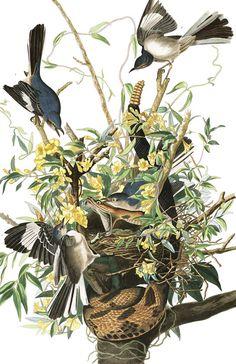 Mocking Bird | John James Audubon's Birds of America