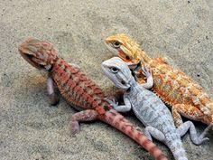 Pogona vitticeps, de colores varios
