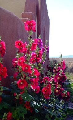 New Mexico Red Hollyhocks adobe walls casita by NewMexicoMtnGirl