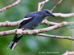 White-winged Cuckoo-shrike, Coracina ostenta: the Philippines