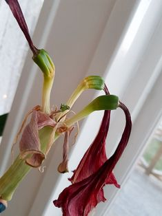 Spara amaryllislöken och få den blomma om | Wexthuset Amaryllis, Flower Power, Green, Plants, Crocheted Slippers, Projects