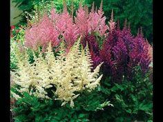 Достаточно долгое время на астильбу не обращали должного внимания. Неумелое выращивание этих растений приводило к их гибели, поэтому, они редко встречались в...
