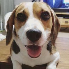 우갸갸갹 #들이대들이대 #얼굴크게나와쏭  Look!!! . . . #망고 #비글 #이쁜망고 #대두망고 #헤벌쭉 #반려견 #일상 #멍스타그램 #비글스타그램 #견스타그램 #독스타그램 #유기견 #사지말고입양하세요  #mango #beagle #beaglestagram #beaglelover #dog #犬 #ビーグル #doggy #daily #puppy #smile #dogstagram #justbeagles #beagleworld