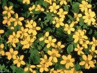 "Golden Star Chrysogonum virginianum 'Pierre'  Green and Gold Plant Type: Perennial USDA Hardiness Zone: 5b to 10a Height: 3.96"" to 6.0"" Spread: 12.0"" to 24.0"" Light Exposure: Full Shade to Full Sun Bloom Color: Yellow Bloom Time: Mid Spring, Late Summer, Late Spring, Mid Summer Leaf Color: Green Growth Rate: Average Moisture: Moist Soil Condition: Neutral, Sandy, Well Drained Form: Spreading Landscape Uses: Ground Cover, Massing,  Special Features: Attracts Butterflies, Good For Naturalizing"