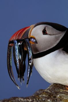 Puffin with sand eels, Outer Hebrides - Frans Lanting Frans Lanting, Puffins Bird, Outer Hebrides, Cool Pictures, Cool Photos, Animal 2, All Gods Creatures, Sea Birds, Little Birds