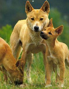 103 best dingoes love them images wild dogs dingo dog mammals
