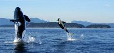 Whale watching off the coast of the San Juan Islands.