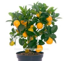 Calamondin orange is one of the easiest indoor fruit trees to grow. Discover how to grow this dwarf citrus tree as a house plant.