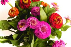 Brightly Colored Zinnias - they always grow so well