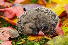 JSPuzzles - Play free Jigsaw puzzles online - Sleeping hedgehog