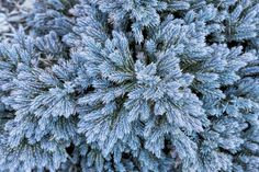 Evergreen Shrubs for Year-Long Color: 'Blue Star' Juniper is an evergreen conifer that has a wide range of varieties with different colors and growing habits. 'Blue Star', pictured, is a compact shrub with silvery-blue needles with a bushy habit, but other cultivars, like 'Blue Acres', have a creeping, spreading habit.