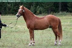 Estonian Native / Klepper - gelding Ruts