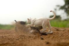 """""""First Kill"""" Papo Gnu and Young White Lioness - photo by @figures_land"""