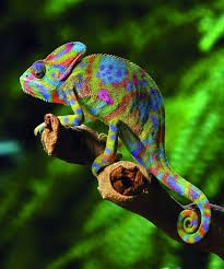 kameleontti - Google-haku