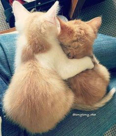 I love cute cat pictures. Here is cutest cat breeds in the world with funny fact cat cat cat are cool cats so cute cat ever Cute Cats And Kittens, I Love Cats, Crazy Cats, Kittens Cutest, Kitty Cats, Cat Cat, Kittens Meowing, Orange Kittens, Fluffy Kittens