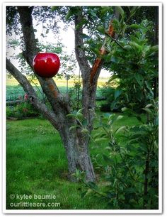 Our Little Acre: The Big Apple - In My Garden