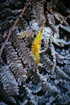 A frost covered fern leaf pokes up through the undergrowth in Hampstead Heath, London Picture: Mikael Buck