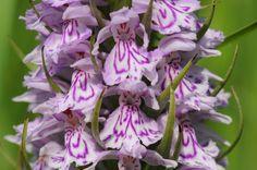 Orchis tacheté, Les Orchis - MonSitePhotos - MonSitePhotos