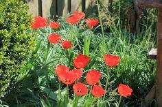 Tulpen in onze tuin