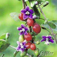 Goji-Beere 'Big Lifeberry®' - Die Fruchtsorte aus China