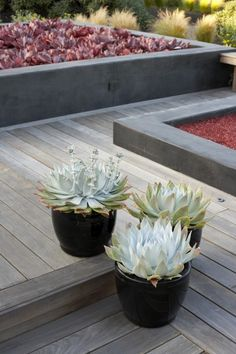 Chalk Dudleya- temperature resilient & rarely needs water.