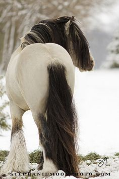 "♂ Wild life animal photography #animals #houses ""Buckskin Gypsy Vanner Stallion MVP Segway"" by Stephanie Moon"