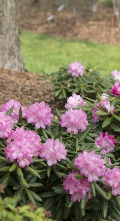 Dandy Man Pink Offers A Unique Combination Of Hardiness And Heat Tolerance Making This