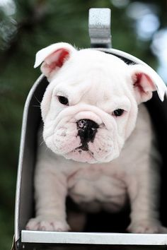 I can't wait to have bulldog one day