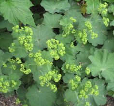 6 Best Plants for Your Garden's Shady Spots (Slideshow) Garden S, Shade Garden, Vegetable Garden, Garden Plants, Garden Ideas, Ground Cover Shade, Alchemilla Mollis, Front Yard Plants, Cool Plants
