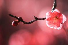 [フリー写真] 紅梅の花と蕾でアハ体験 - GAHAG | 著作権フリー写真・イラスト素材集