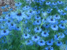 Love In A Mist-  remember the common name of Nigella