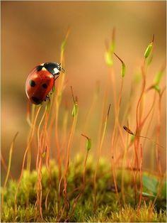 Lucky Ladybug by ButterflyJ