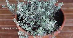 Thyme Destroys Strep, Herpes, Candida and Flu Virus – Healthy Home Remedies Herpes Remedies, Genital Herpes, Cold Remedies, Natural Remedies, Cha Natural, Natural Herbs, Thyme Essential Oil, Medicinal Plants, Health Fitness