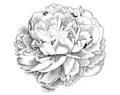 Drawn flower illustration - pin to your gallery. Explore what was found for the drawn flower illustration Peony Illustration, Engraving Illustration, Engraving Art, Peony Drawing, Peony Painting, Flower Drawings, Drawing Flowers, Rite De Passage, Peonies Tattoo