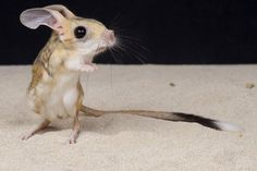 Long-eared Jerboas - These delightful creatures live in southern Mongolia and some parts of Northern China. They only grow up to 3 inches long! Baby Animals, Funny Animals, Cute Animals, Small Animals, Wild Animals, Long Eared Jerboa, Beautiful Creatures, Animals Beautiful, Pet Mice