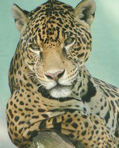 Strike a pose! #leopard #cats