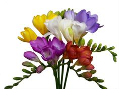 Assorted Freesia - Freesia - Flowers and Fillers - Flowers by category Bouquet De Freesia, Freesia Flowers, Rare Flowers, Amazing Flowers, Pretty Flowers, Flower Outline, Beautiful Flowers Wallpapers, Language Of Flowers, Nature