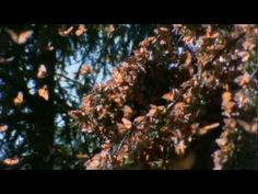 See the monarch migration in Mexico Beautiful video - Monarch Migration
