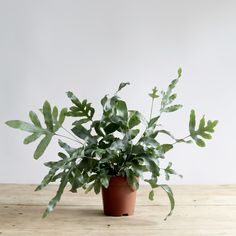 """Phlebodium aureum is an ornamental, herbal indoor house plant. It is a rhizomatous fern, with the crawling rhizome – cm in diameter, densely covered in the golden-brown scales that resembels the common name """"golden polypody""""."""