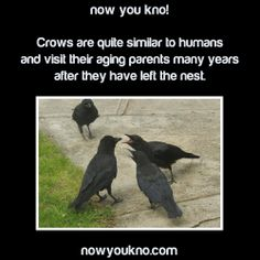 Crows use tools Can be taught to speak (like parrots) Have huge brains for birds like seriously their brain-to-body size ratio is equal to that of a chimpanzee They vocalize anger, sadness, or happiness  some crows stay with their mates until one of them dies they can remember faces