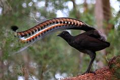 The song of the Lyre Bird is comprised of a mixture of its own song and a number of mimicked sounds/noises; Lyrebirds most commonly mimic other birds, or other animals (eg; koalas and dingoes). All Birds, Love Birds, Pretty Birds, Beautiful Birds, Bird Pictures, Animal Pictures, Flora, Australian Animals, Exotic Birds