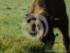 A view of an African buffalo calf grazing on grassland in the afternoon. African Buffalo, Elephant Images, African Animals, Zebras, Giraffe, Calves, Felt Giraffe, Baby Cows, Giraffes