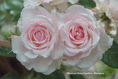 'Constance Finn' Rose Photo