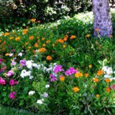 Chinese Flame Tree Google Search Garden Idea Plants Pinterest Flame Tree Garden Ideas