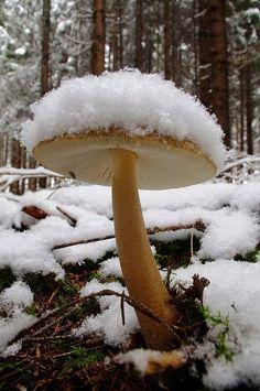 Snow mushroom