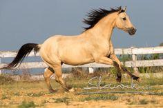 tuscany quarter horse buckskin